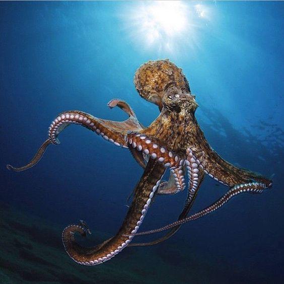 octopus amazing facts